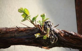 Vinogradniki iz Debelega hriba prejemniki cepiča najstarejše trte na svetu