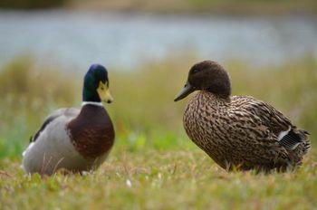 Aviarna influenca pri prostoživečih pticah