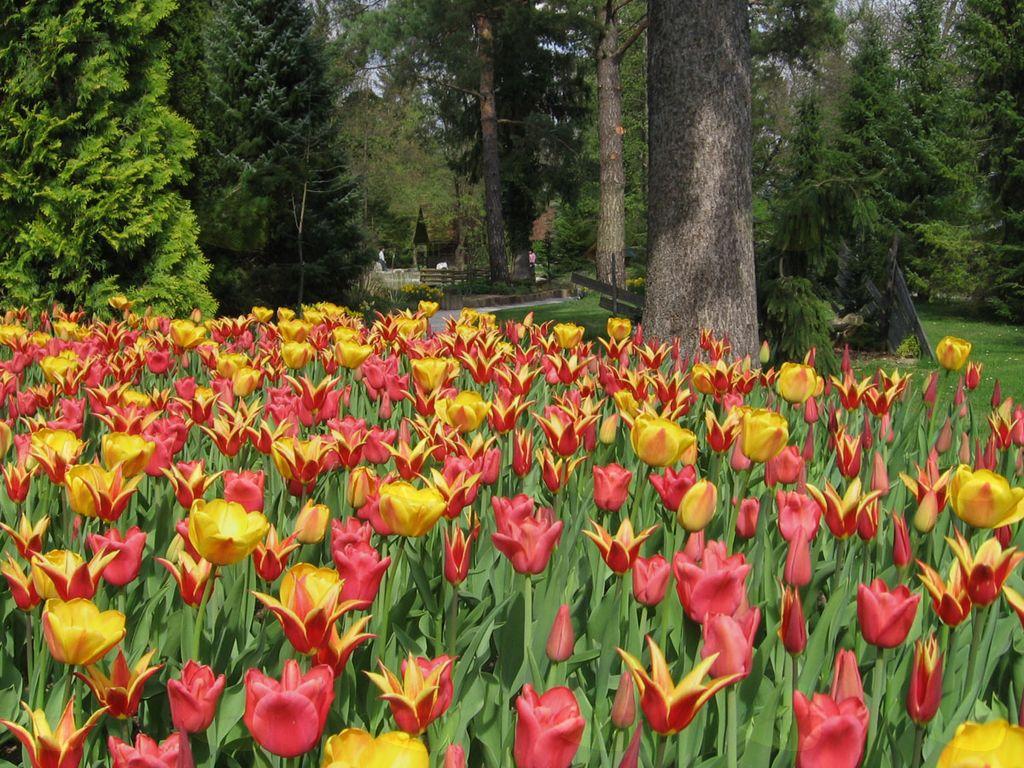 Začetek 40. razstave tulipanov v Mozirskem gaju